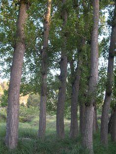 la chopera con los troncos de los chopos