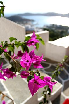 Bougainvillea with a view