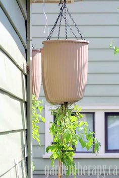 Tomatoes in upside-down planters make a great use of space but there are a few important things to know so that your efforts will be fruitful. #garden #tomatoes