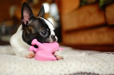 Brindle Boston Terrier Puppies Photos