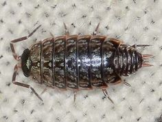 Philoscia muscorum - Common Striped Woodlouse -- Sighted: New York, etc.