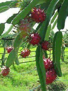 La fruta del Dragón o Pitahaya.