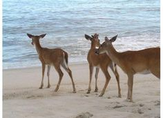 Deer on the Beach- Fire Island, New York. You don't see this often. Long Island Ny, Fire Island New York, Island Girl, Island Beach, Coastal Christmas, Oh Deer, New York Jets, Gold Coast, Strand
