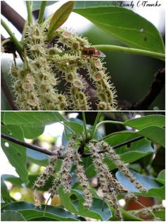 Bohera +Terminalia bellirica