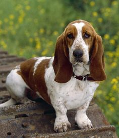 Amazing history of dog breed - Basset Hound. Diseases of Basset Hound. Hound Dog Breeds, Hound Puppies, Cute Puppies, Cute Dogs, Dogs And Puppies, Dog Breeders, Baby Dogs, Funny Dogs, Doggies