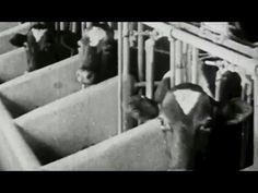 The Story of Milk: Production 1920s Bray Studios: http://youtu.be/RcqvkOfsMt4 #milk #dairy #farming