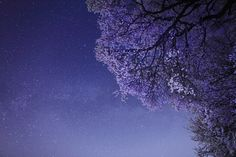 Cherry blossoms and Summer Triangle -