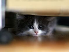 Precious Little Black & White Kitten Hiding Underneath the Bed.