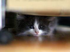 Precious Little Black & White Kitten Hiding Underneath the Bed.