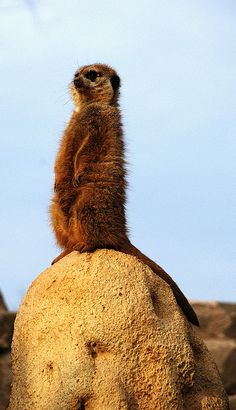 """Meerkat * * """" Weez on sentry guard 24/7. Shifts run as long as de individual meerkat wants to stand as look-out."""""""