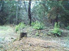 72328287e88 Female Mountain Lion Screaming for mates in front of trail camera