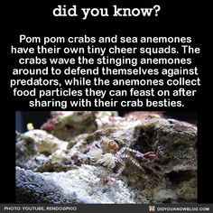 """did-you-kno: """" Pom pom crabs and sea anemones have their own tiny cheer squads. The crabs wave the stinging anemones around to defend themselves against predators, while the anemones collect food particles they can feast on after sharing with their. Funny Animal Memes, Cute Funny Animals, Cute Baby Animals, Funny Quotes, The More You Know, Good To Know, Did You Know, Science Facts, Animal Facts"""