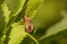 2014 05 05  Zuringwants (Coreus marginatus)
