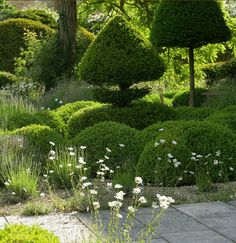 The limestone chipping surface is planted with low box hedges which form a criss cross pattern - a contemporary version of a knot garden- which is peppered with aromatic lavenders and sages. Oxeye daisies float above the line of the hedges and in between the sculptural, clipped topiary shapes that punctuate the knot.Arne Maynard garden design.