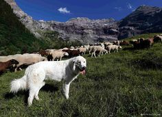 10 photos. Switzerland. Pyrenean mountain dogs - shepherds assistants