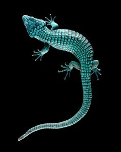 Abronia graminea is an endangered arboreal alligator lizard described in 1864 by Cope. Animals inhabit bromeliads in the canopy of montane pine-oak and cloud forest.
