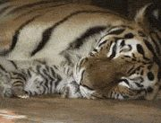 Newborn Tigers Are So Tiny, a beautiful gif of a majestic MaMa Tiger