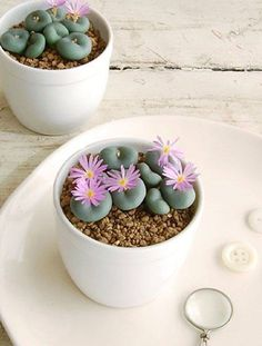 """Lithops é um gênero botânico pertencente à família Aizoaceae. As plantas pertencentes a este gênero, frequentemente são chamadas """"Pedras Vivas"""" ou """"Plantas Pedra"""", são originárias de zonas desérticas do sul da África."""