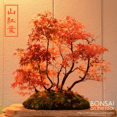 山紅葉(ヤマモミジ)の石付盆栽 YAMA-MOMIJI, Japanese maple bonsai on a rock 2016.11.19 撮影 bonsai on the rock @Creema / @BASE / @Zazzle