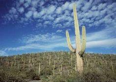 Saguaro National Park in Tucson, Arizona