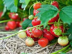 When To Plant Strawberries, Types Of Strawberries, Strawberry Varieties, Strawberry Plants, Insulated Garden Room, Cookie Delivery, Wild Bird Feeders, Water Features In The Garden, Delicious Fruit