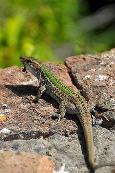 Lizard at the Villa Jovis, Capri  http://www.lightfootphotos.com/img/s3/v24/p243720341-3.jpg