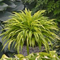 "Hosta ""curly fries"" 6"" tall & 16"" wide_Lavender flowers_prefers part sun (morning)_chartreuse matures to bright red speckled petioles_attracts butterflies_$18 5.5"" pot"