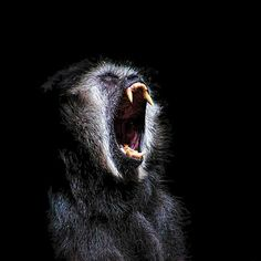 A creepy painting of a scary black monkey with vicious fanged teeth. This primate has you fooled. He is not roaring, he is actually yawning because it is nap time.