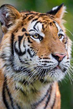 Tigre...