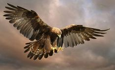 Golden Eagle by Ronald Coulter Ronald Coulter: Photos #animals #photography