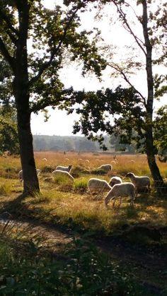 Mijn schapen