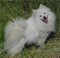 American Eskimo. I had one many years ago. Her name was Marshmallow. Great dog.