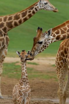 See pictures of baby giraffes, and learn more about the world's tallest mammals–which may be in danger of extinction