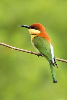 Chestnut-headed Bee-eater by Milan Zygmunt on 500px