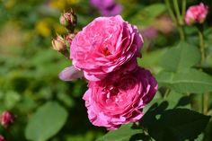 Louise Odlier – ruusu   Vesan viherpiperryskuvat – puutarha kukkii
