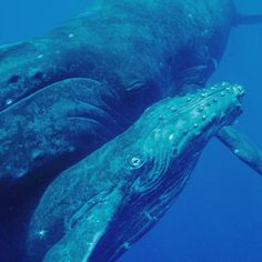 Planet Ocean, Humpback Whale, Underwater Photography, Mom And Baby, Bbc, Diving, This Is Us, Free, Water Photography