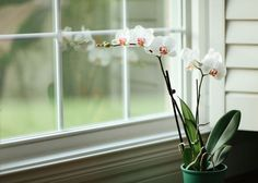 How to Grow and Maintain Beautiful Orchids Indoors