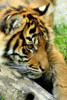 *Tiger Cub
