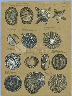 Twelve specimens of foraminifera