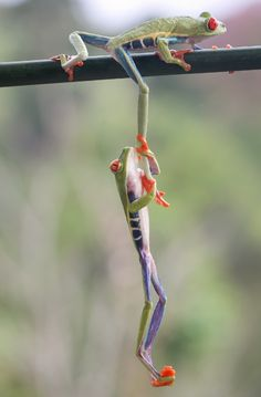 Tree frog in the costa rican rainforest. #animals photos Nicolas Reusens