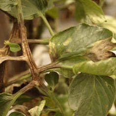 Troubleshooting Tomato Problems, Tomato Pests | Gardener's Supply Growing Tomatoes In Containers, Small Tomatoes, Growing Vegetables, Grow Tomatoes, Growing Plants, Baby Tomatoes, Gardening Vegetables, Tomato Plant Diseases, Tomato Plants