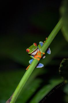 K05_Frog.JPG - Selva Verde does not allow flash photography at night.  Accordingly, we went out with flashlights only and shot using high ISOs.