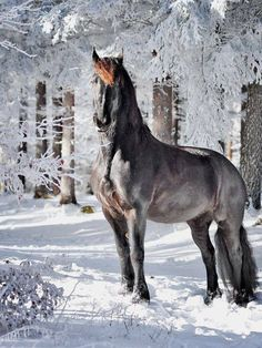 Gorgeous colored horse with shiny coat standing in the snow with beautiful snow covered trees behind him.