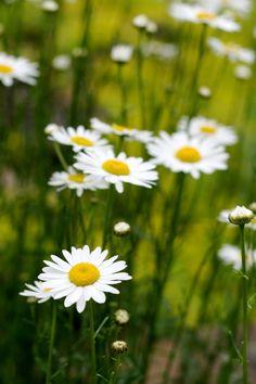Wild flowers - Oxeye Daisy