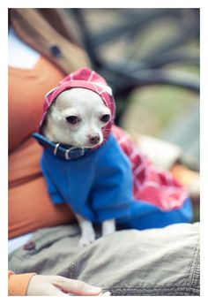 Teeny dog in a billowy Spider-Man costume