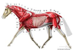 Equine veterinary illustration of deep musculature