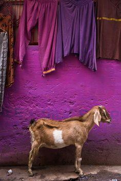 Goat - Varanasi, India   by Nick Lorkin