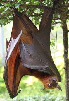 Bat Species, Bats, Mammals, Creatures, Cave, Animals, Tatuajes