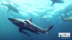 I've been diving with tresher sharks, bamboo sharks, white tip reef sharks and grey reef sharks already. But still I have huge respect for sharks. Reef Shark, Documentary Film, Sharks, Diving, Respect, South Africa, Documentaries, Whale, Bamboo