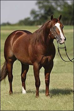 Carol Rose Quarter Horses - Shiners Lena Doc. Bred Lady to this fine stud twice.
